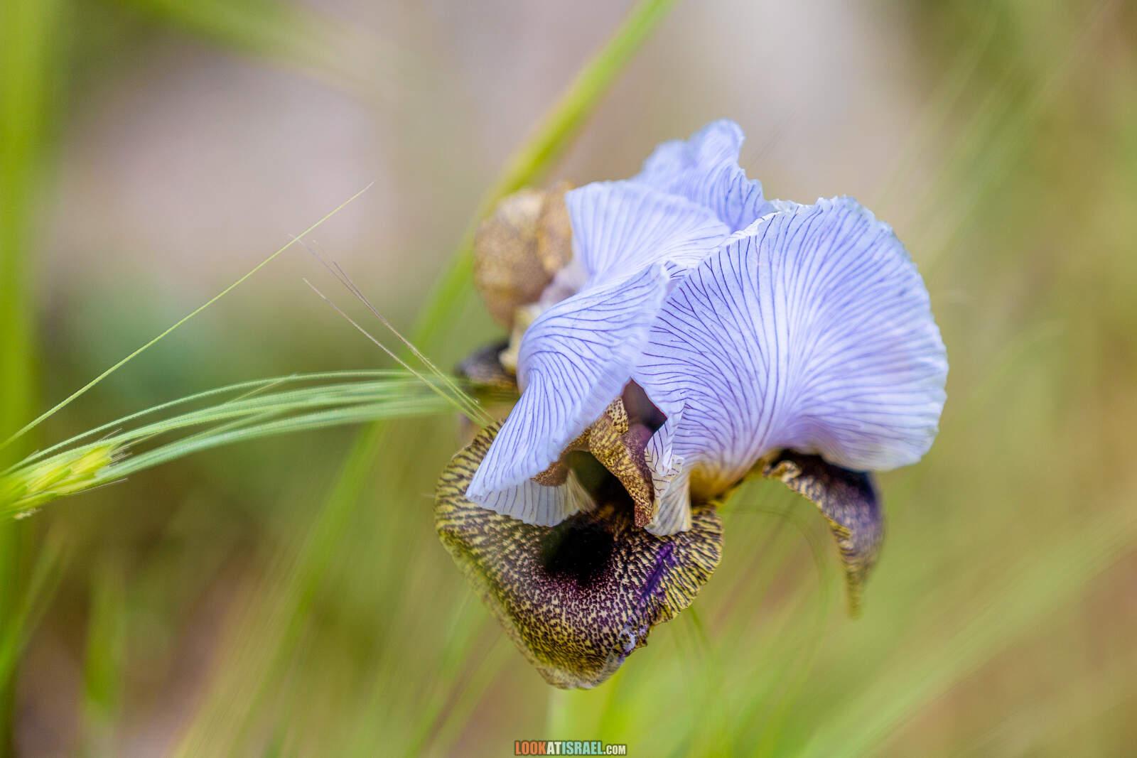 Ирис Хермонский (Голанский) - Iris hermona - אִירוּס הַחֶרְמוֹן או אִירִיס הגולן