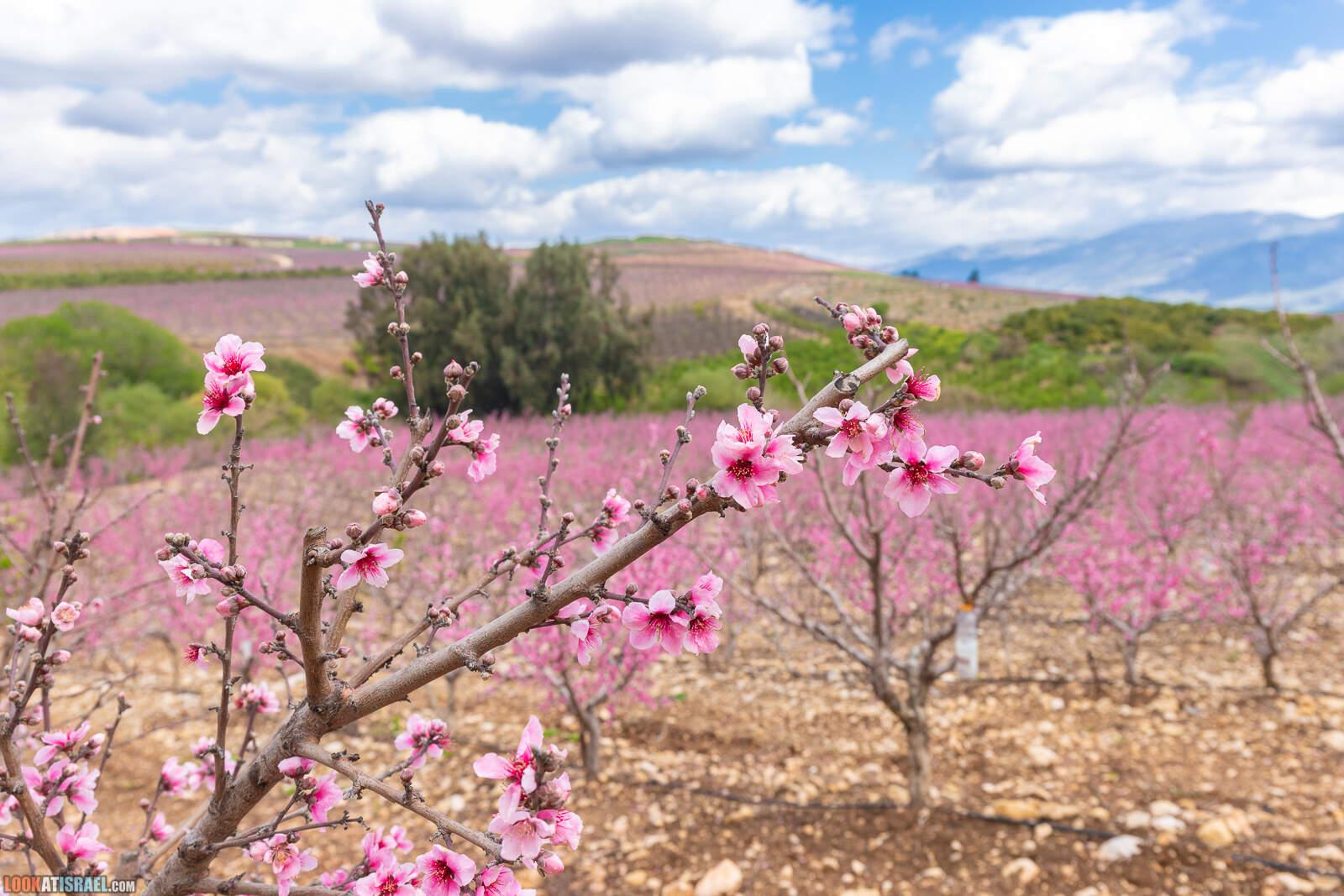 Цветение персиков в Галилее | LookAtIsrael.com - Фото путешествия по Израилю