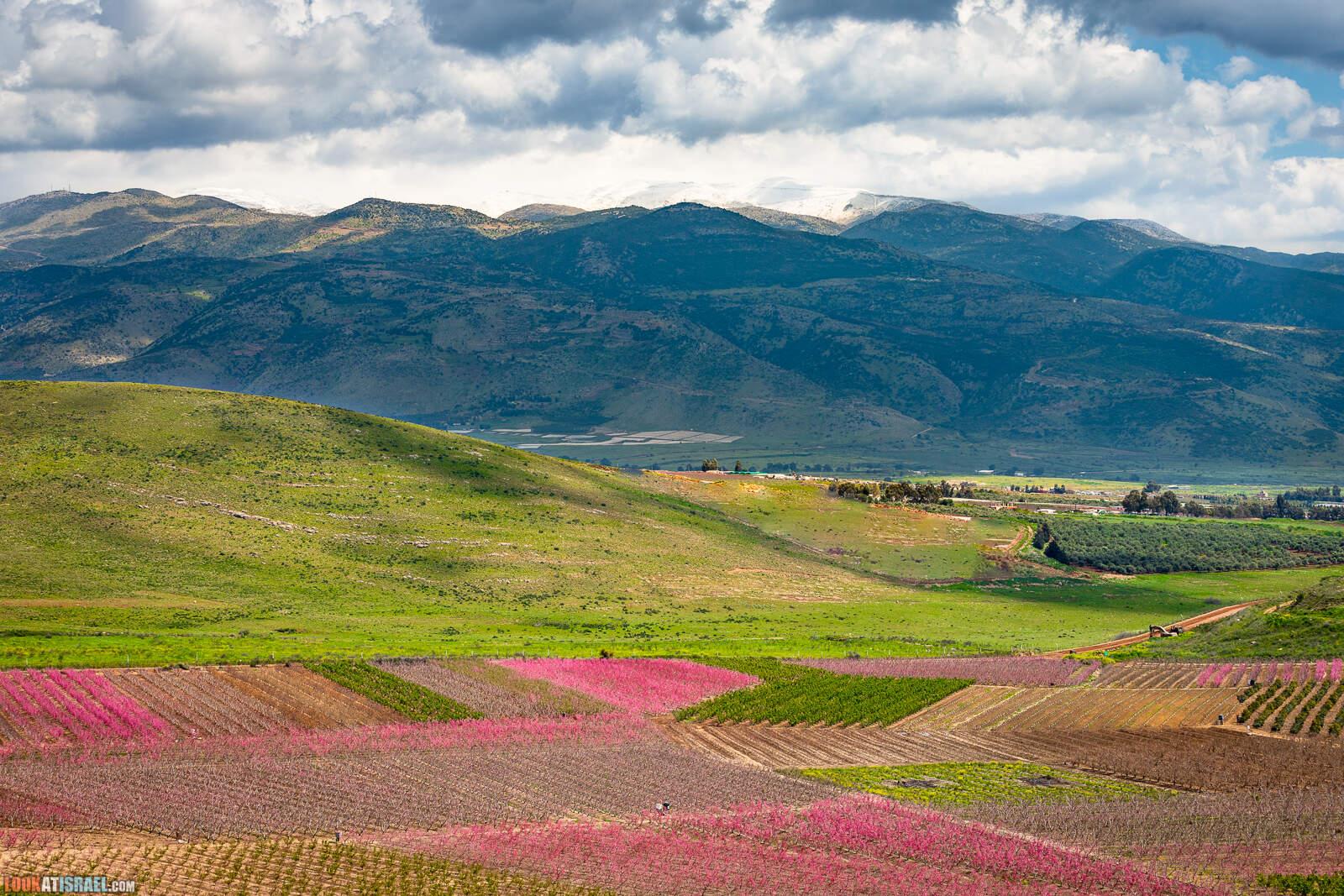 Цветение персиковых деревьев в Галилее и на Голанских высотах