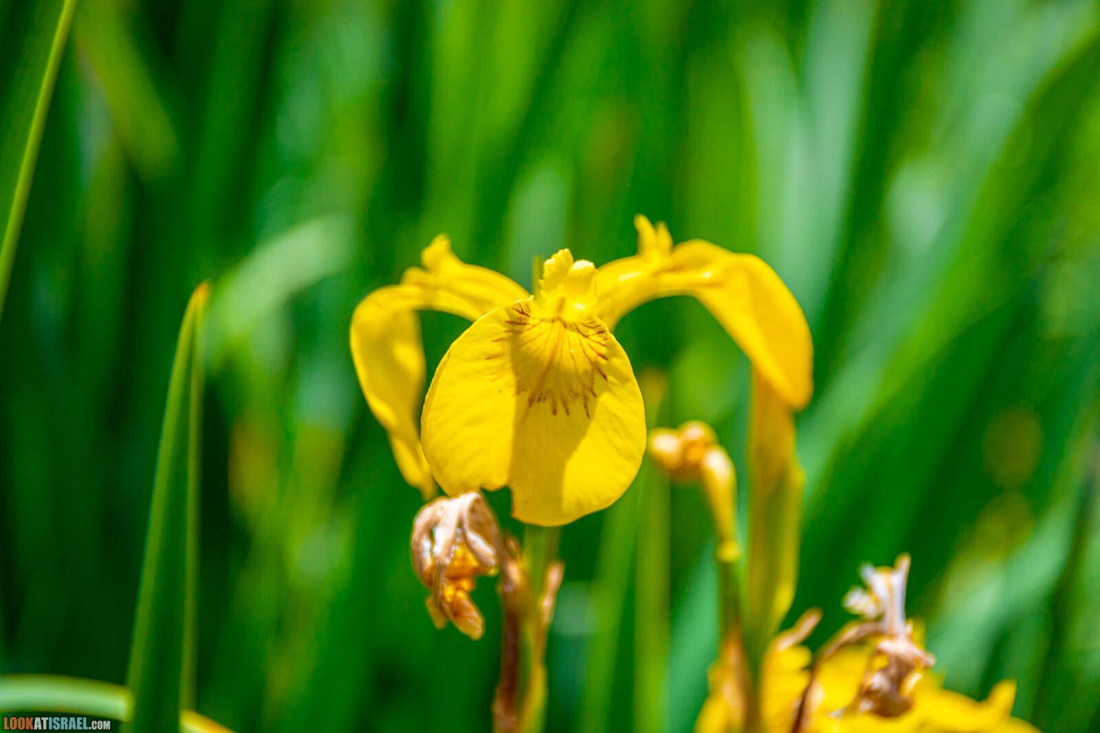 Ирисы Израиля, Ирис ложноаирный - Iris pseudacorus - אירוס ענף - LookAtIsrael.com - Фото путешествия по Израилю