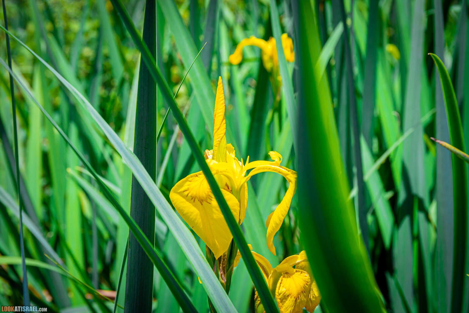 Ирисы Израиля, Ирис ложноаирный - Iris pseudacorus - אירוס ענף
