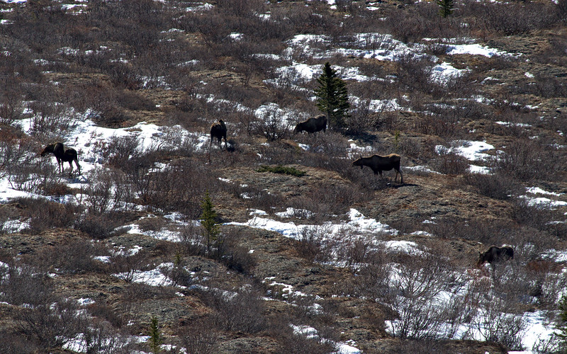 I spent about 40 minutes watching 6 moose from the ridge above in Denali National Park. Most of them were on the ground early in the morning, then on my way back down later in the day all but one were up and grazing. This was the closest shot that I could get five of them together.blogpost: http://lwpetersen.com/photo-blog/travel-alaska/2014/03/early-spring-hike-denali-national-park
