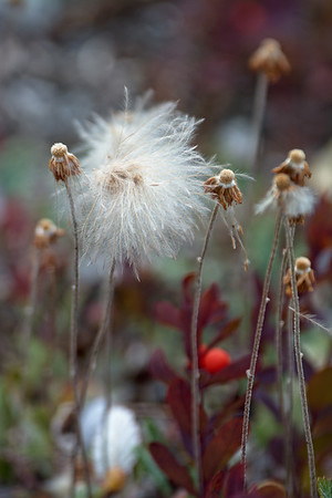 Alaska Cotton – Eriophorum