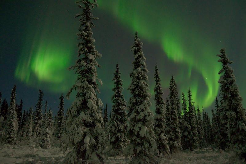 The aurora borealis dances over a boreal forest in Fairbanks, Alaska.