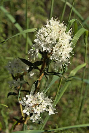 Labrador Tea – Rhododendron tomentosum