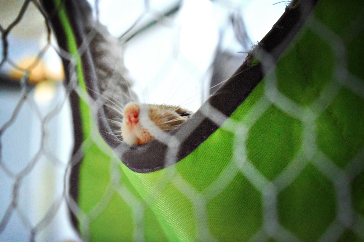 A small rat sticks its nose and whiskers into the air out of a green fabric hammock at the EcoWorld Aquarium & Wildlife Rehabilitation Centre in Picton, New Zealand.