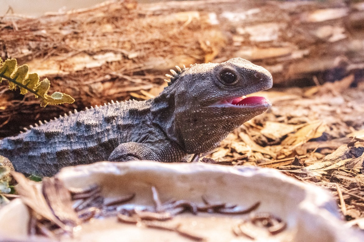 A small iguana holds its mouth open at the EcoWorld Aquarium & Wildlife Rehabilitation Centre in Picton, New Zealand.