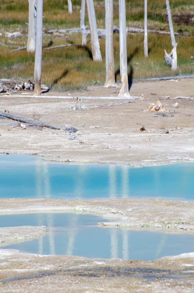 Yellowstone Hot Springs: Dead trees in Yellowstone's Norris Geyser Basin.