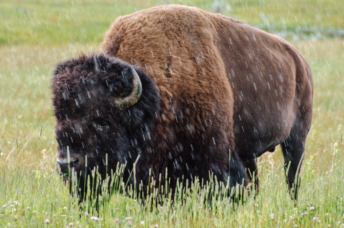 A large American Bison or Buffalo stands in tall grass near the Madison River in Yellowstone National Park, Wyoming.  The large grazing animal wanders through an open field while occasionally stopping to graze.