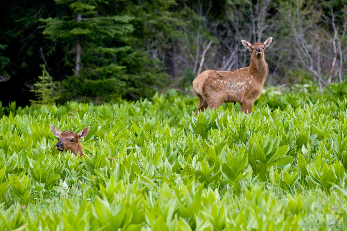 Cheap Stock Photos: Deer and Elk Images.  A baby elk peers out from tall grasses in Oregon's Eagle Cap Wilderness in the Western United States.