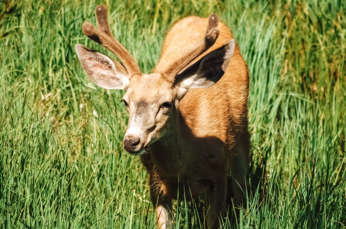 An adolescent deer with a small rack stands among green grass and flowers at Idaho's Redfish Lake.
