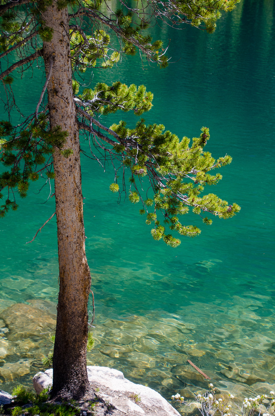 Best Baron Lakes Idaho Hikes - Grandjean Campground and Trailhead to Redfish Lake.  A pine tree grows on a boulder on the edge of Upper Baron Lake, where deep alpine water turns various shades of green and turquoise.