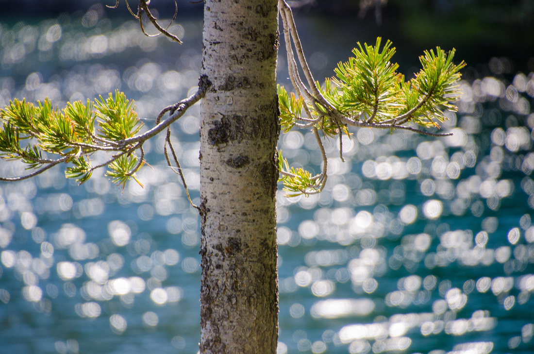 Best Baron Lakes Idaho Hikes - Grandjean Campground and Trailhead to Redfish Lake.  A pine tree stands on the edge of Alpine Lake in the Sawtooth Wilderness.  Sunlight reflects off the surface of the lake beyond the alpine tree.