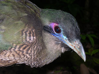 Sumatran ground-cuckoo