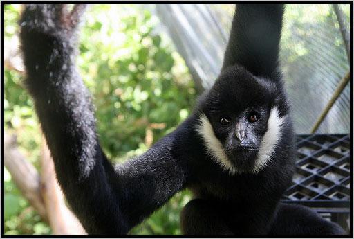 El mono araña de cara blanca (Ateles marginatus). Foto cortesía de International Rivers.