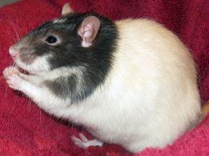 Barry: Rat, Rat; Vancouver, BC