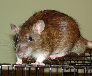 Snowy: Rat, Rat; Vancouver, BC