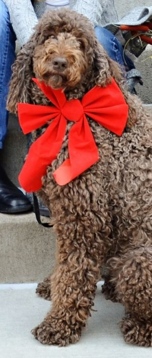 MN - Milo & Lucy: Standard Poodle, Dog; Hastings, MN