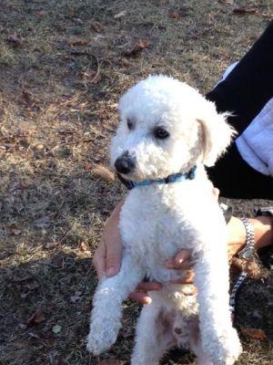 RI - Aries: Bichon Frise, Dog; West Warwick, RI