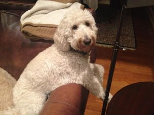 OH - Trudy: Standard Poodle, Dog; New Albany, OH