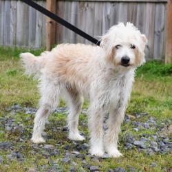 R.I.-PARKER: Poodle, Dog; West Warwick, RI