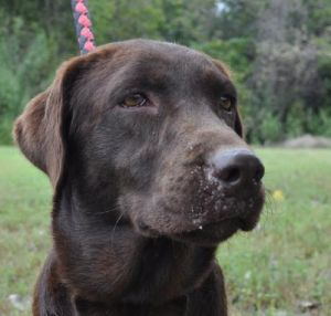 Luna (aka Corina): Chesapeake Bay Retriever, Dog; Waco, TX