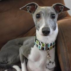 Pull Out Bed Chair High Table Chairs Set Available Igs In Missouri And Kansas | Midwest Italian Greyhound Rescue