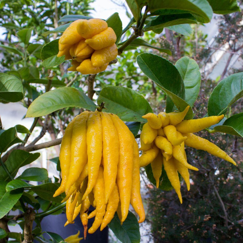 Cdratier Main de Bouddha  Plantes et Jardins