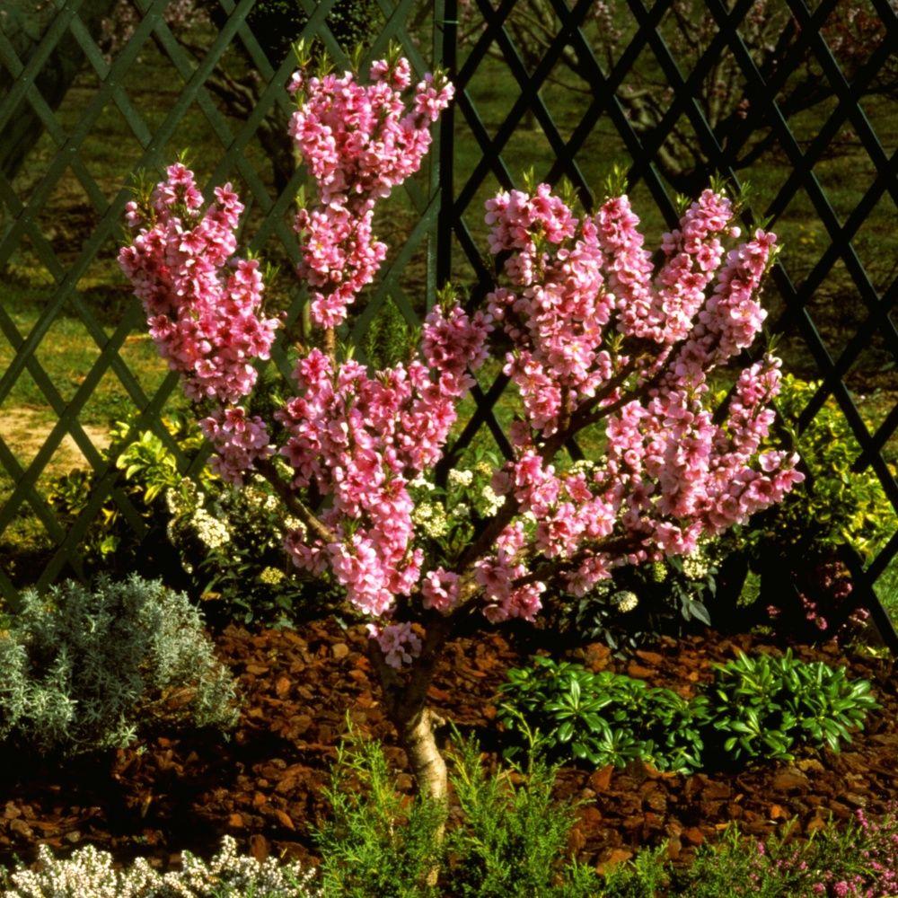 Nectarinier nain Rubis  Plantes et Jardins