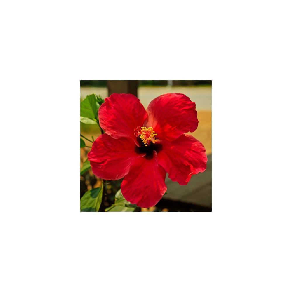 Hibiscus rouge  Plantes et Jardins