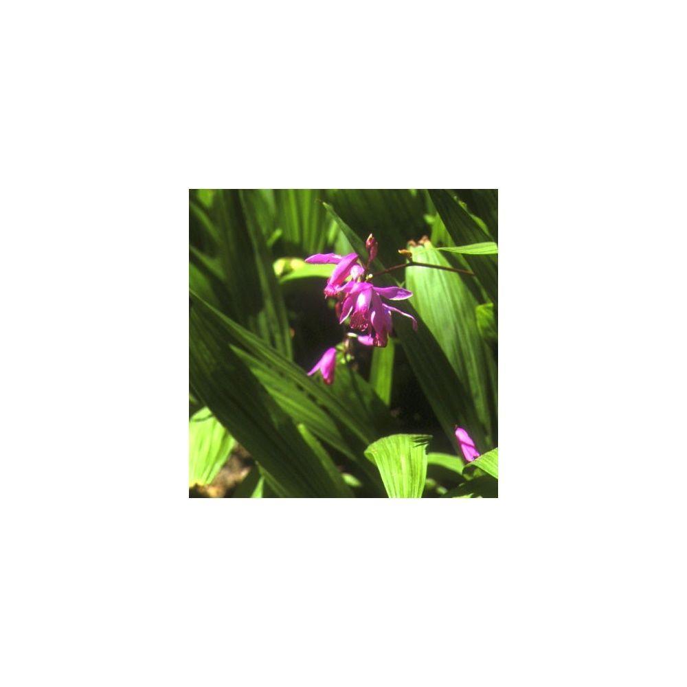 Orchide de jardin lot de 2  Plantes et Jardins