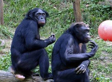 https://i0.wp.com/photos.pouryourheart.com/wp-content/uploads/2018/12/Bonobo-chimps.jpg?w=640