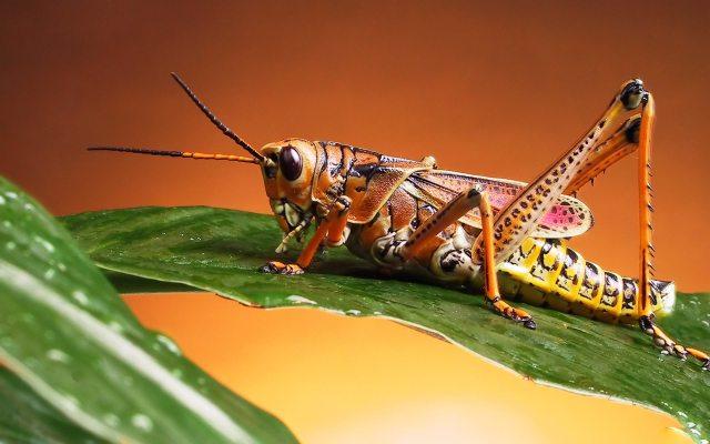 https://i0.wp.com/photos.pouryourheart.com/wp-content/uploads/2018/12/Grasshoppers_Romalea_guttata.jpg?w=640