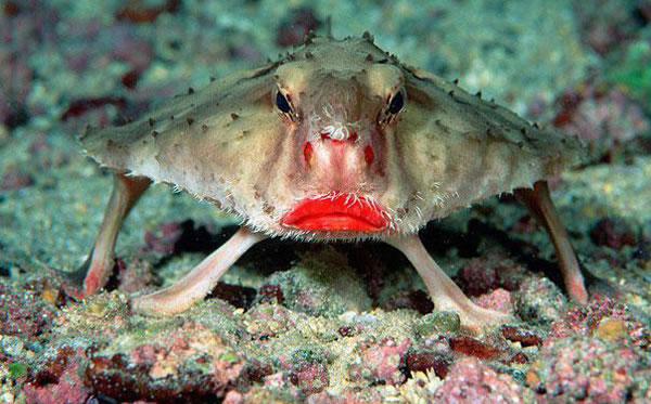 https://i0.wp.com/photos.pouryourheart.com/wp-content/uploads/2018/12/Red-Lipped-Batfish.jpg?w=640