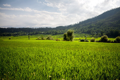 Lush green rice fields surrounded by the pine trees and the Himalaya mountains in Lolab valley in northern Kashmir, India