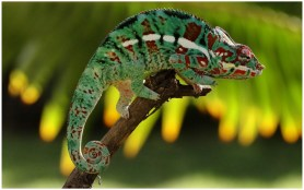 HD Shot of a Colorful Panther Chameleon
