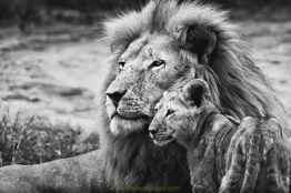 Indian Forest Lion King Photos