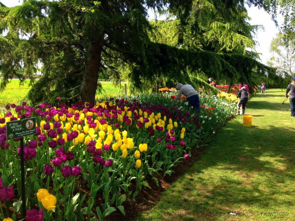Gardeners Clearing the End of Season Tulips at the Skagit Valley Tulip Festival