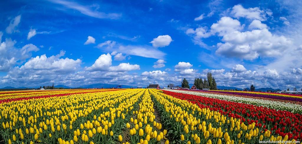 Skagit Valley Tulip Festival by Beautiful Washington