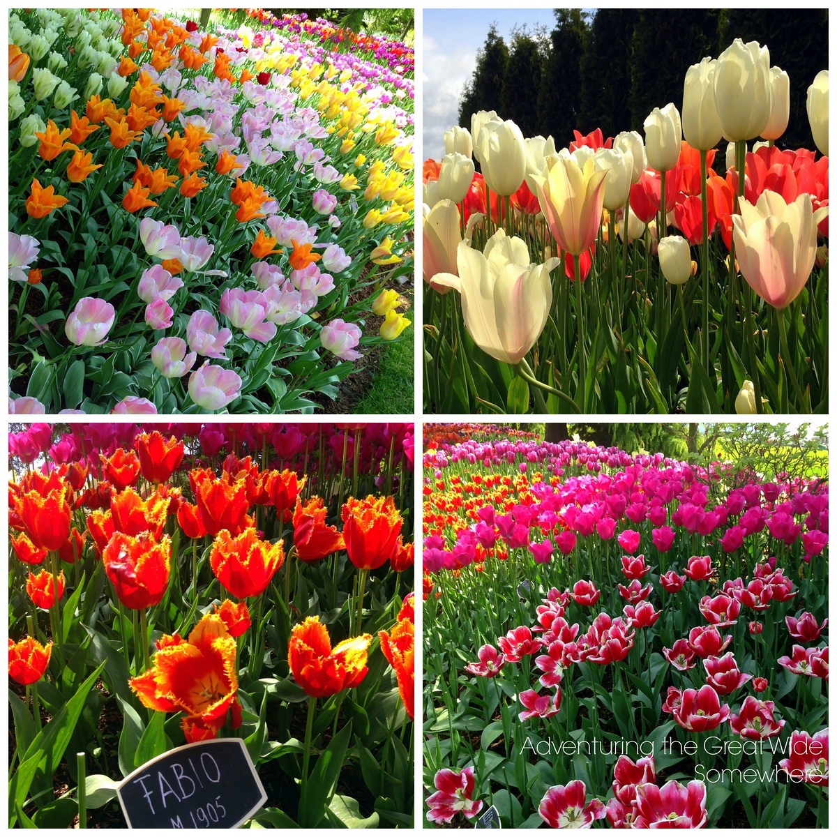 Various Blooms Seen at the Skagit Valley Tulip Festival's RoozenGaarde