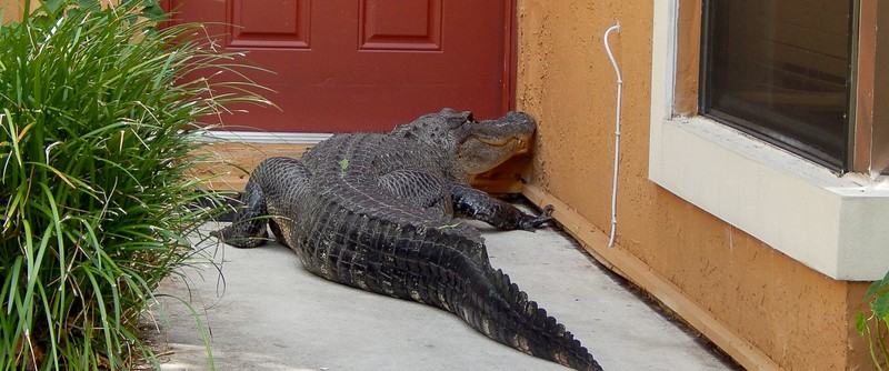 Gator at the Front Door of a Home