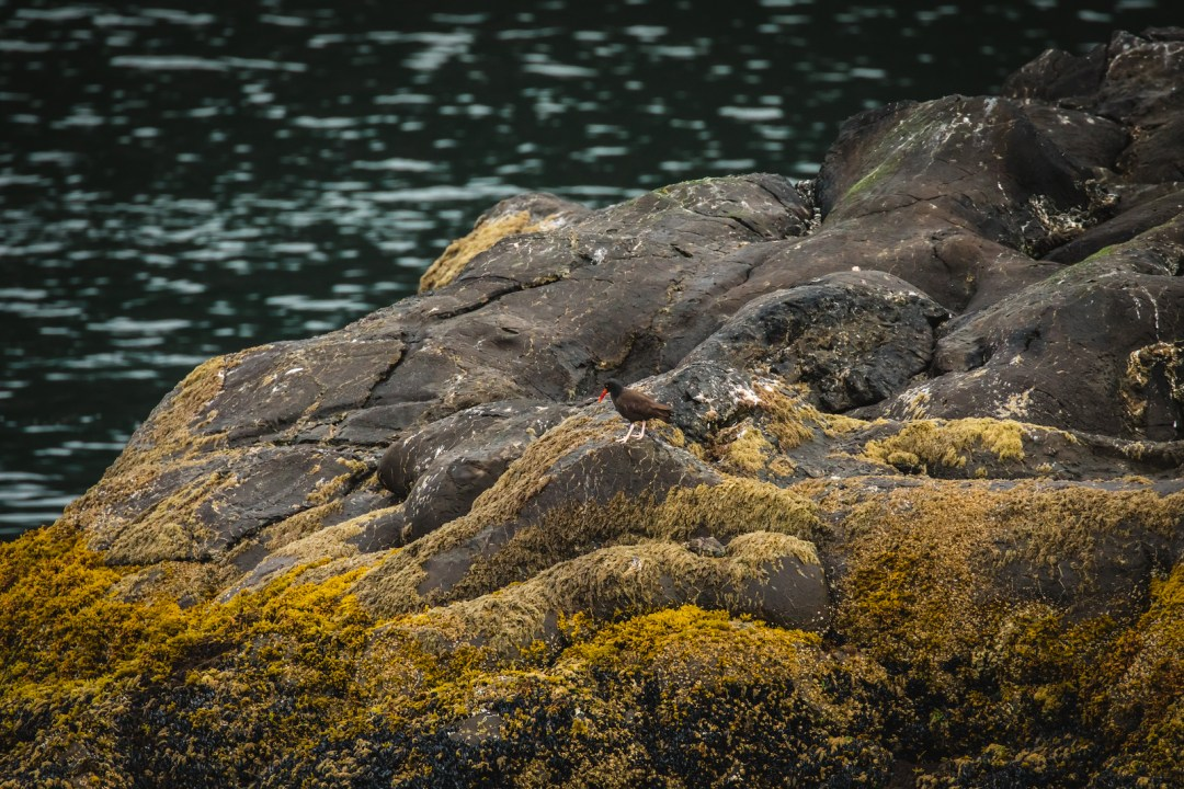 A bird in  Resurrection bay during  a major marine tour of Kenai Fjords National Park out of seward, Alaska. Taken by Kimberly Kendall of Clicking with Kim