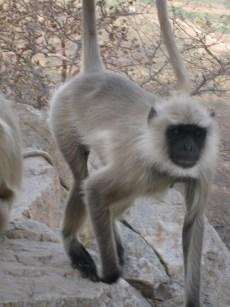 monkey at pushkar brahma's temple