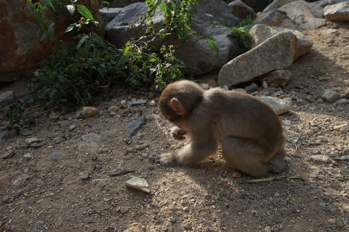 Baby snow monkey looking for wheat seeds on the ground
