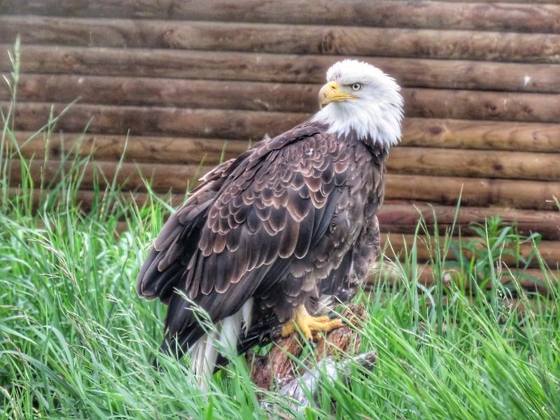 Bald Eagle - Yukon Wildlife Preserve