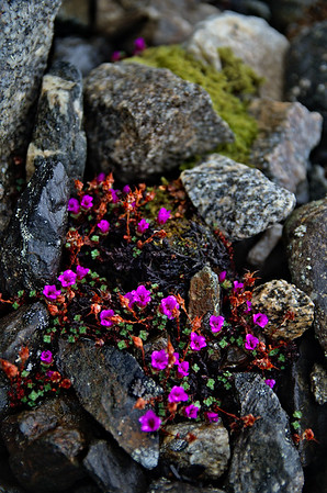 Purple Mountain Saxifrage flowers in rocky talus near the Black Rapids Glacier