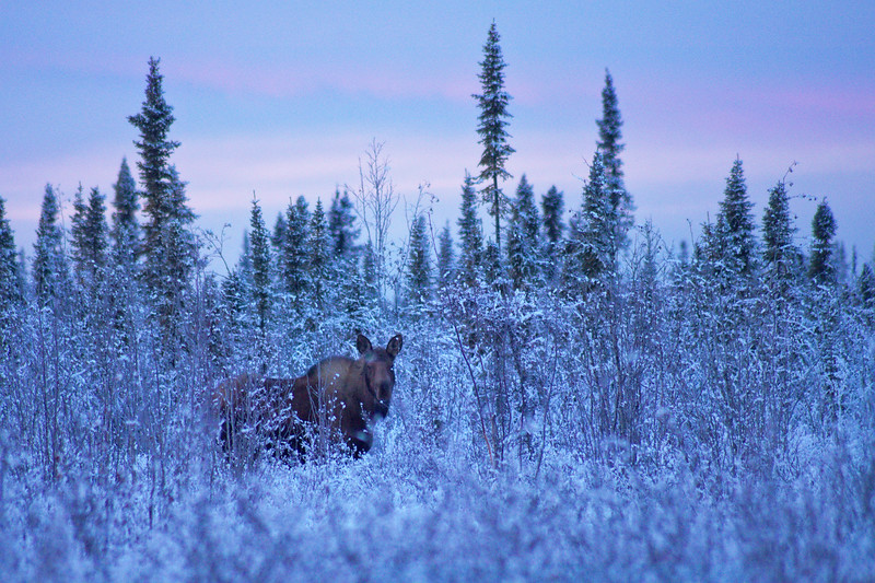 A moose in the bushes during early morning blue light
