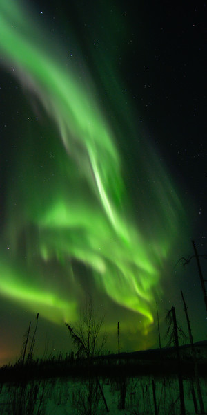 vertical panorama of aurora borealis over a silhouetted forest
