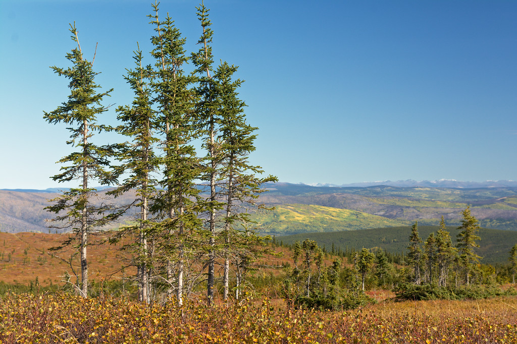 Stand of spruce trees on Murphy Dome in fall foliage - early September