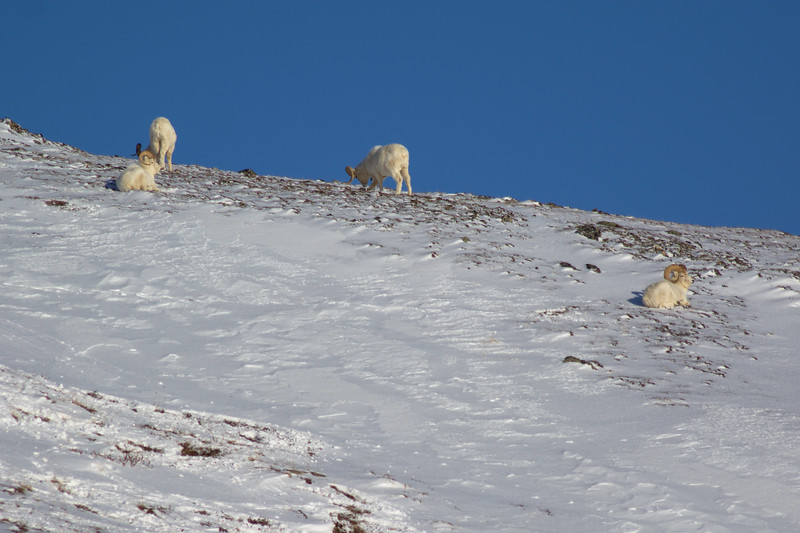 Dall sheep (4 rams) above the Savage Alpine Trail in February. Denali National Park, Alaska.